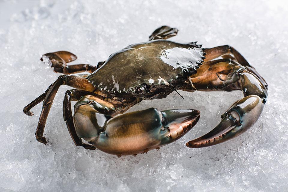 mud-crab-live
